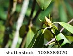 Rhododendron Bud Growing In The ...