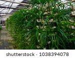 soilless cultivation of... | Shutterstock . vector #1038394078