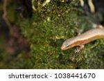 short limbed supple skink... | Shutterstock . vector #1038441670