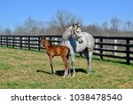 Gray Thoroughbred Mare And Bay...