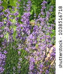lavender bushes closeup on... | Shutterstock . vector #1038516718