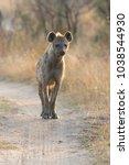 lone hyena walking along a dirt ... | Shutterstock . vector #1038544930