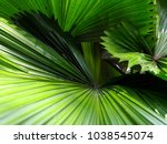coconut leaves natural... | Shutterstock . vector #1038545074