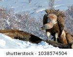 griffon vultures  gyps fulvus ... | Shutterstock . vector #1038574504