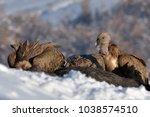 griffon vultures  gyps fulvus ... | Shutterstock . vector #1038574510