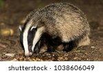 badger  meles meles  young... | Shutterstock . vector #1038606049