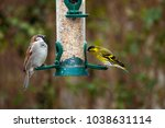 Male House Sparrow And Europea...