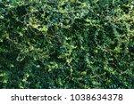 green beautiful climbing plant. ... | Shutterstock . vector #1038634378