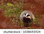 beautiful european badger ... | Shutterstock . vector #1038653524
