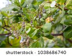 cashew nut cashew nut at... | Shutterstock . vector #1038686740