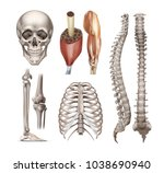 vector set of anatomy realistic ... | Shutterstock .eps vector #1038690940