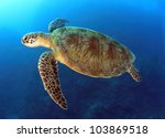 Green Turtle Swimming In Blue...
