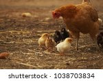 little chick with a hen's... | Shutterstock . vector #1038703834