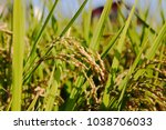 ripening rice in a paddy field. ... | Shutterstock . vector #1038706033