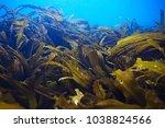 laminaria sea kale underwater... | Shutterstock . vector #1038824566
