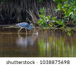 tricolored heron caught a fish | Shutterstock . vector #1038875698
