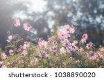 cosmos flowers in sunset | Shutterstock . vector #1038890020