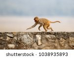 macaque rhesus on the wall with ... | Shutterstock . vector #1038935893