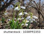 snowdrops. galanthus elwesii ... | Shutterstock . vector #1038992353