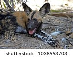 Wild Hunting Dogs In The Selou...