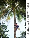 Small photo of A traditional coconut picker on the coconut tree wearing shot and a parang (machete) to collect a sugar palm ( coconut) in the countryside