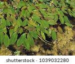 potamogeton natans  pondweed ...   Shutterstock . vector #1039032280