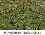 dense pondweed overgrown...   Shutterstock . vector #1039033168