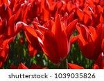 Red Headed Tulip