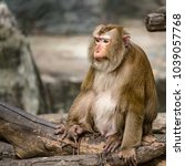 pig tailed macaque  monkey... | Shutterstock . vector #1039057768
