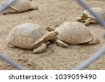 Sulcata Tortoise Or African...
