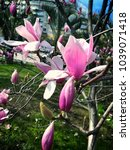 Small photo of Spring magnolia of a sulanzh tulip Tree