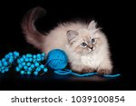 Stock photo fluffy beautiful kitten nevskaya masquerade with blue eyes posing with a ball of woolen threads on 1039100854
