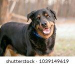 a happy rottweiler dog looking... | Shutterstock . vector #1039149619