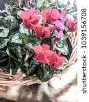 Small photo of Cyclamen plants in a pale wicker basket on a hessian mat in a patch of shadowy sunlight