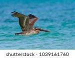 brown pelican juvenile in... | Shutterstock . vector #1039161760