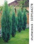 leylandii an evergreen...   Shutterstock . vector #1039166278