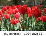 bright red tulips   Shutterstock . vector #1039182688