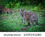 red necked pademelons in the... | Shutterstock . vector #1039241080