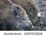 wild boar piglets  sus scrofa ... | Shutterstock . vector #1039252828