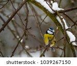 beautiful blue tit sitting on a ... | Shutterstock . vector #1039267150