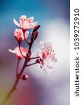 blooming cherry flowers branch... | Shutterstock . vector #1039272910
