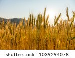 barley field in golden glow of... | Shutterstock . vector #1039294078