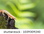 short limbed supple skink... | Shutterstock . vector #1039309240