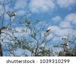 Small photo of Flock of Asian openbill stork, Ciconiidae or Anastomus oscitans, on the tree in a brighter day with Scattered cloud on a blue sky.
