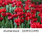 red  tulips in the park | Shutterstock . vector #1039311490