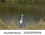 great white heron or great... | Shutterstock . vector #1039395694