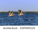 white pelicans  pelecanus... | Shutterstock . vector #1039405210