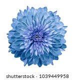 chrysanthemum blue. flower on ... | Shutterstock . vector #1039449958