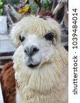 Small photo of Happy face of Alpaca in farm. Alpaca (Vicugna pacos) is a domesticated species of South American camelid. Have white fur colour and some brown. Cute eyes and nose that make feel gentle