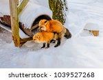fox breeding  animal breeding ...   Shutterstock . vector #1039527268